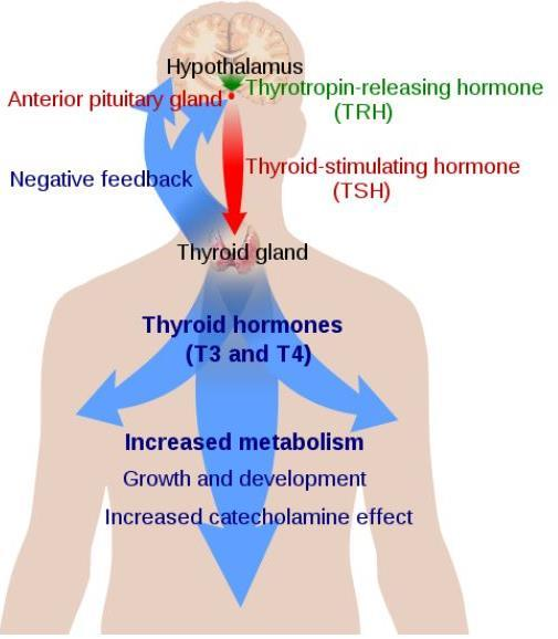 Thyroid gland Biggest endocrine gland ส งเคราะห Thyroid hormone - Triiodothyronine (T3) - Tetraiodothyronine (Thyroxine) (T4) ส งเคราะห Calcitonin Synthesis and Release is achieved by an intricate