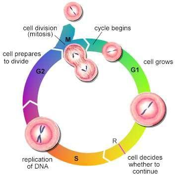The Cell Cycle The cell cycle consists of four phases: G