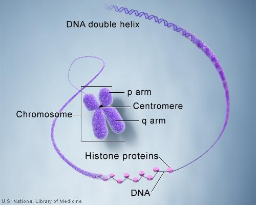 Chromosomes Chromosomes: Genetic information is passed from one generation to the