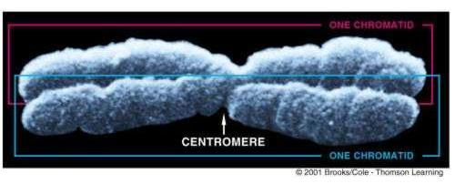 Chromosomes When the cell divides, the