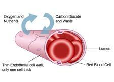 information How does the structure link to the role played by the blood