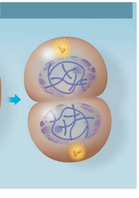 Telophase Cell membrane pinches in forming a cleavage furrow. Telophase and Cytokinesis Cleavage furrow Nucleolus forming Spindle fibers are gone Nuclear envelope reforms.