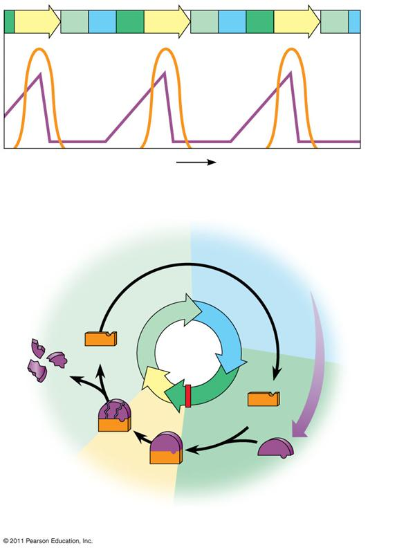 The Cell Cycle Clock: Cyclins and Cyclin- Dependent Kinases Two types of regulatory proteins are involved in cell cycle control: cyclins and cyclin-dependent kinases (Cdks) Cdks activity fluctuates