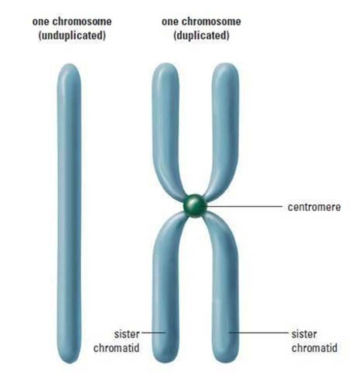 Distribution of Chromosomes During Eukaryotic Cell Division In preparation for cell division, DNA is replicated and the chromosomes condense Each duplicated chromosome has two sister chromatids
