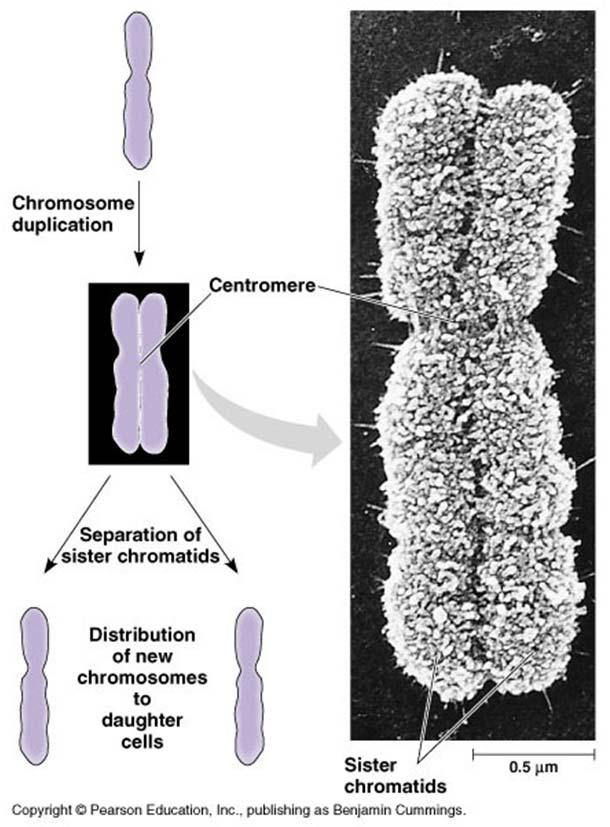 During cell division, the two sister chromatids of each duplicated chromosome separate