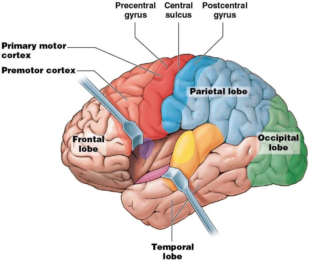 Module 13.12: Functional regions of cerebral cortex 1.