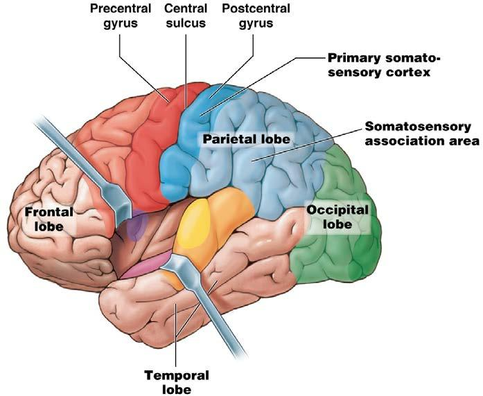Module 13.12: Functional regions of cerebral cortex 2.