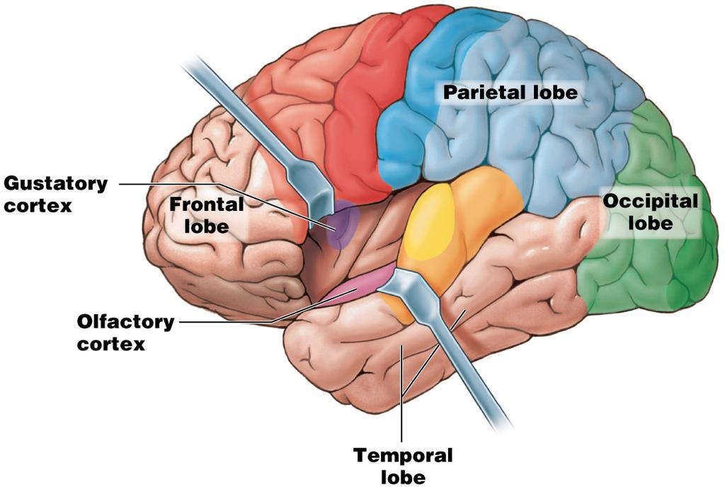 Module 13.12: Functional regions of cerebral cortex 3.
