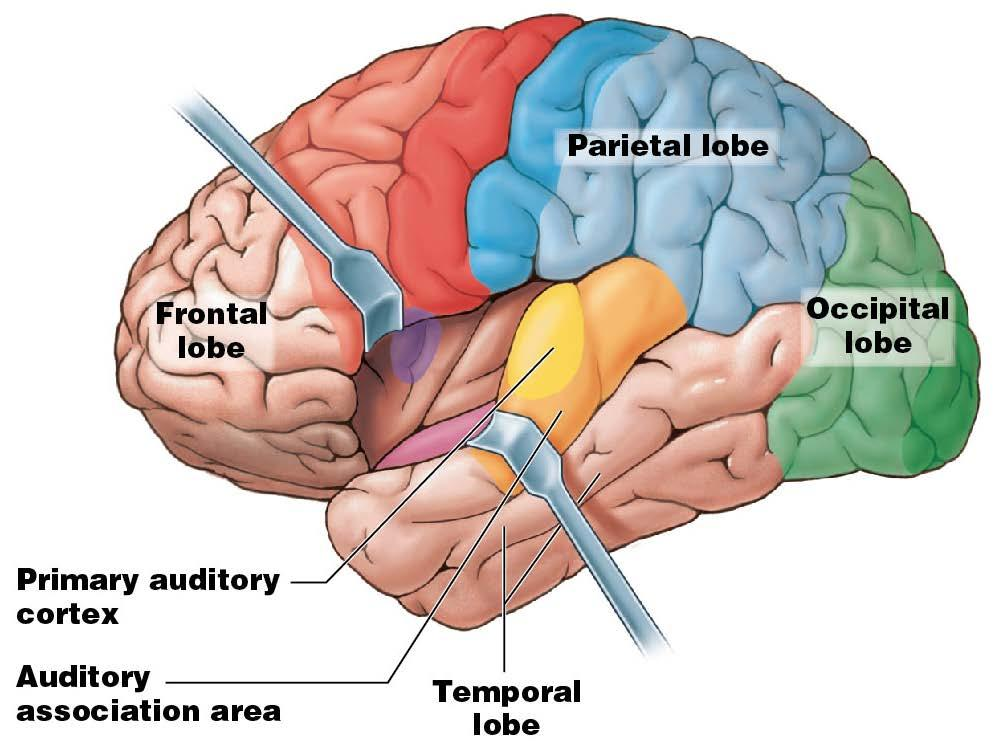 Module 13.12: Functional regions of cerebral cortex 5.