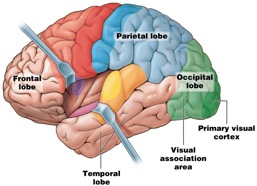 Module 13.12: Functional regions of cerebral cortex 6.