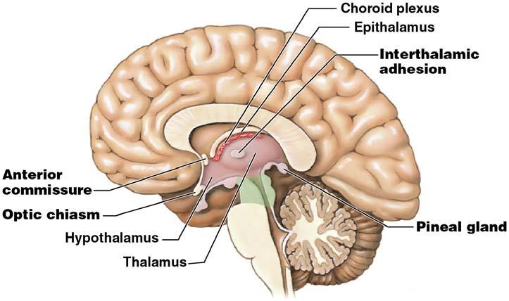 Module 13.8: Diencephalon Hypothalamus Contains important control and integrative centers May be stimulated by: 1.