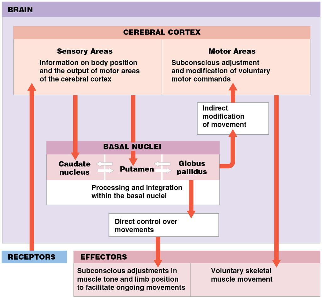 Roles of the basal