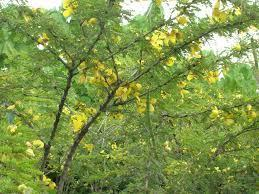 In Sanskrit it is called as svarnapatri. 5. In English it is called as Senna.
