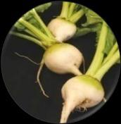 tender bulb that is very tasty when cooked. It is best enjoyed roasted with olive or nut oil.