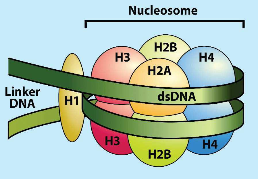 Figure 1 Structure of a nucleosome: dsdna and histone proteins (H1, H2A, H2B, H3, H4). CONCLUSION Antinucleosome antibodies can be used as an additional marker for diagnosis of SLE.