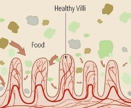 WHAT HAPPENS AT CELLULAR LEVELS The Nutrients in the food that we eat get absorbed by the Intestinal Villi. Villi: Hair like protrusions.
