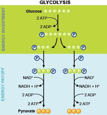 II. Cellular Respiration Glycolysis The initial splitting of glucose into two pyruvate molecules occurs in all