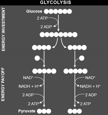 pyruvate 2 NADH + 2H + **Main purpose of glycolysis: to form pyruvate and coenzymes to be used in the next step!