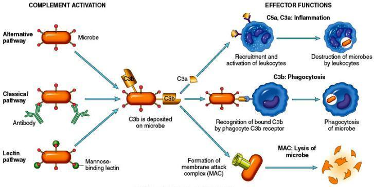 COMPLEMENT SYSTEM Important functions: C3a and C5a (anaphylatoxins) release histamine (mast cells) increased vascular permeability chemotactic