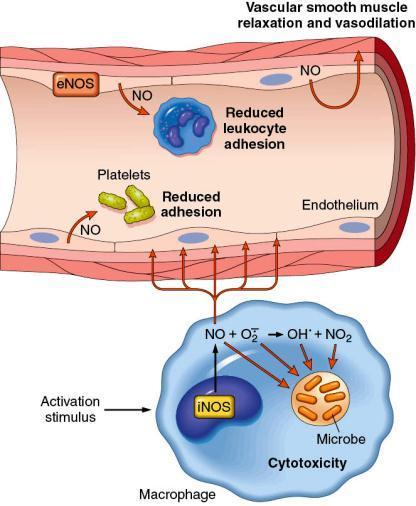 NITRIC OXIDE (NO) nitric oxide (NO) synthesized from L-arginine by NOS (inos in inflammation) effects: - smooth muscle relaxation
