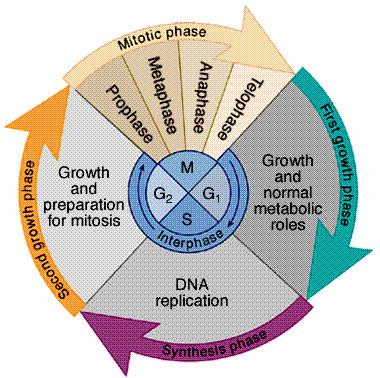 Interphase Divided into 3 phases: u G 1 = 1 st Gap cell doing its everyday job cell grows u S = DNA Synthesis