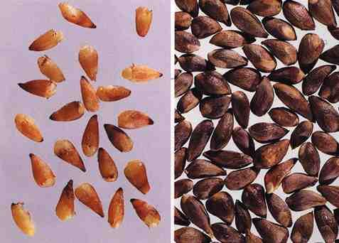 "n Zh"" M# 10 Su""n Z%o Rén sour jujubee seeds sour date seed Ziziphus spinosa"