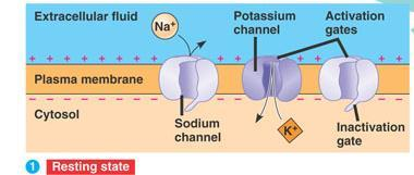 Sending a Signal: Action Potential Na + channels are embedded in the membrane of the neuron Usually, these Na + channels are closed, but can be triggered to open when the correct
