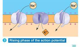 Action Potential STEP 2: The change in voltage triggers the next Na + channel (voltage gated channel) to open.