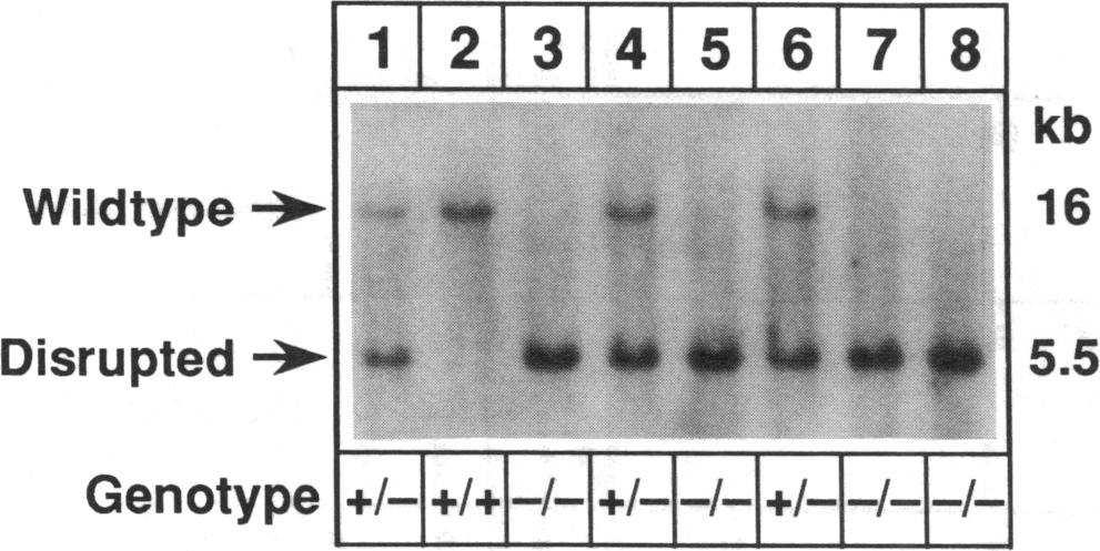 The wild-type allele is represented by a band at 16 kb, while the disrupted allele creates a band at 5.5 kb when genomic DNA is digested with amhi (see Fig. 1).