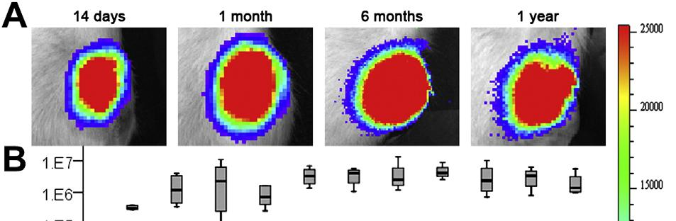 The contralateral AAV-CMV-GFP-injected knees did not show luciferase signal during the study.