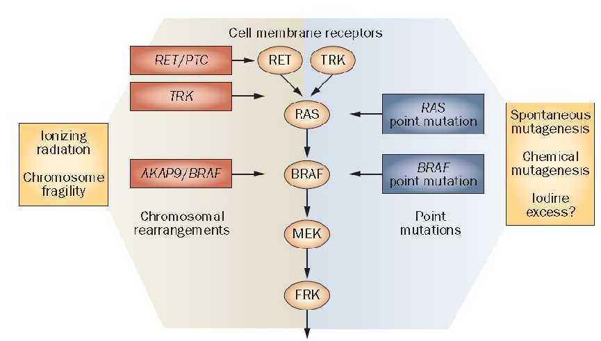 MAPK pathway Cell proliferation, growth, survival Image from Nikiforov &
