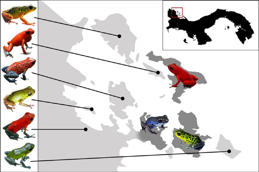 NO REPRODUCTIVE ISOLATION AMONG POISON FROG MORPHS 3 B A C Figure 1. Map of the Bocas del Toro Archipelago of Panama showing the diversity of colour and pattern among Oophaga pumilio populations.