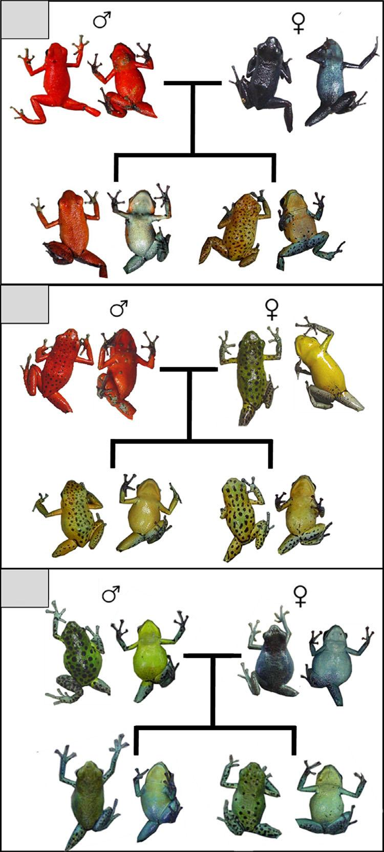 NO REPRODUCTIVE ISOLATION AMONG POISON FROG MORPHS 7 A B C Figure 3.