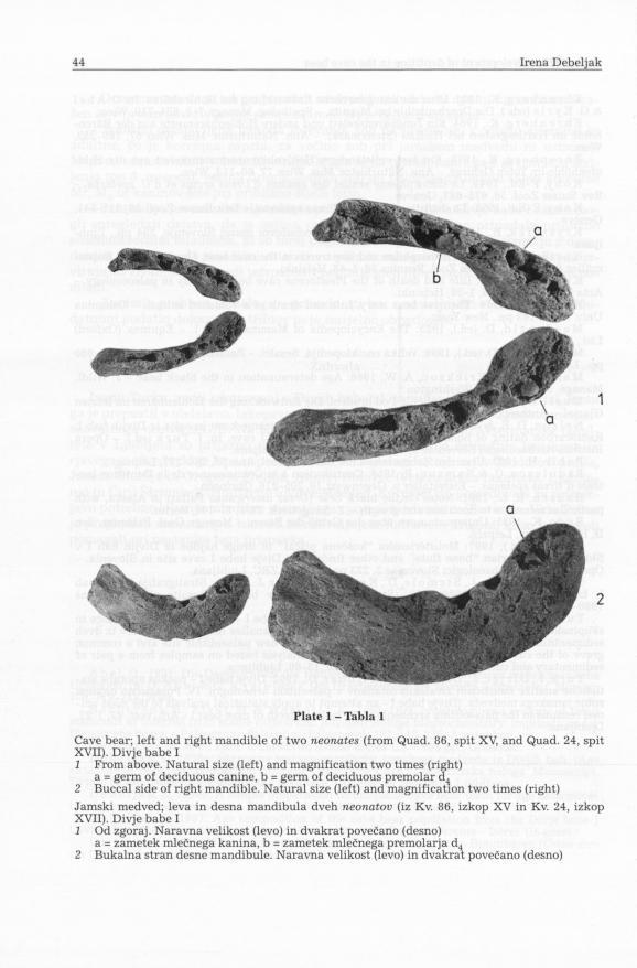 Plate 1 - Tabla 1 Cave bear; left and right mandible of two neonates (from Quad. 86, spit XV, and Quad. 24, spit XVII). Divje babe I 1 From above.
