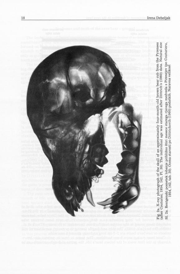 Fig. 2a. X-ray photograph of the skull of an approximately four-month-old brown bear cub from the Pyrenees (after Couturier, 1954, 142, PL 30).