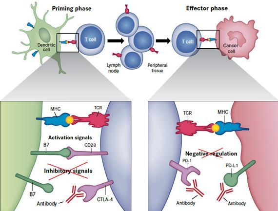 PD-1 and PD-L1 Antibodies PD-1 inhibitory receptor found on activated lymphocytes and monocytes and is associated with tumour immune escape