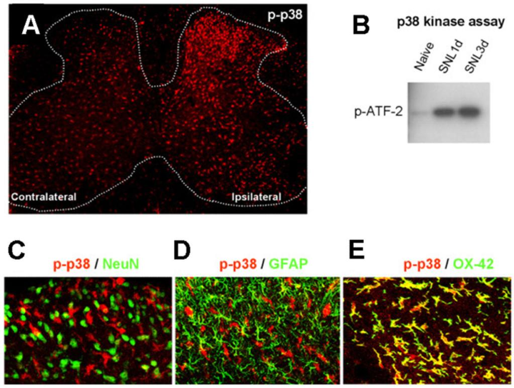 GOSSELIN et al. Page 15 Figure 3. Activation of p38 MAPK in the spinal cord subsequently to nerve injury in the Spinal Nerve Ligation (SNL) model of neuropathic pain.