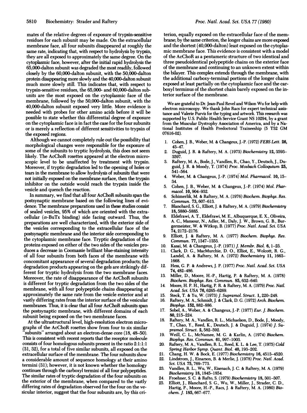 5810 Biochemistry: Strader and Raftery Proc. Natl. Acad. Sci. USA 77 (1980) mates of the relative degrees of exposure of trypsin-sensitive residues for each subunit may be made.