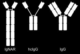 Antibodies bind antigens in their antigen binding Affinity (strength) of bond depends on collection of non-covalent bonds in light and heavy chains The light and heavy chains have two regions -