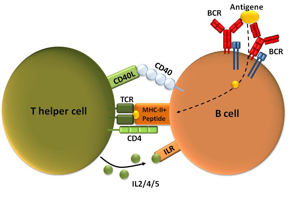 There are two very important accessory molecules that all T cells contain CD8 is found on cytotoxic T cells - Binds to Class I MHC molecules CD4 is found on