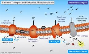 Oxidative Phosphorylation * Uses NADH and FADH 2 formed during the Kreb s Cycle as electron donors