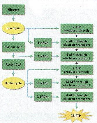 goes into the Krebs Cycle * CO2 produced by glycolysis & Krebs cycle