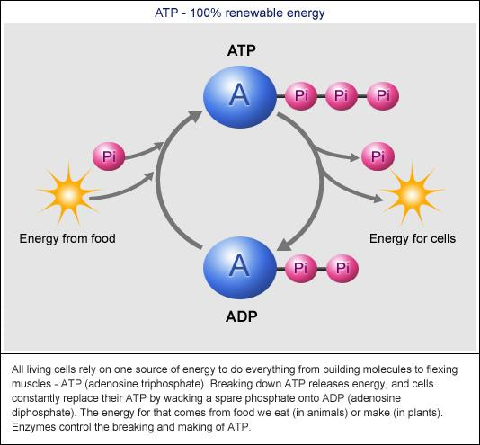 refers to the chemical reactions that make ATP by adding P i
