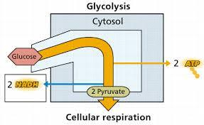 Glycolysis * Needed to break down glucose and other organic molecules into smaller monomers * Occurs in the cytoplasm outside the mitochondria * Glycolysis means splitting of sugar Steps * 1.