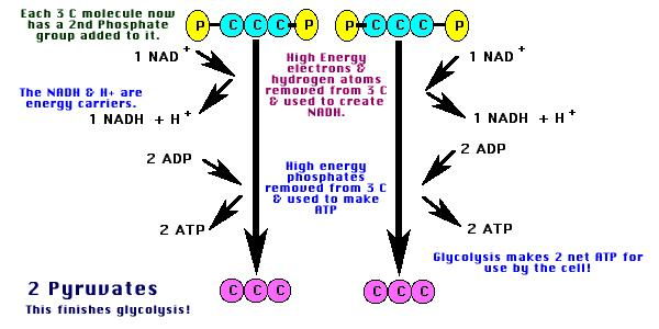 * 4. Each PGAL is oxidized by NAD to yield NADH, which releases energy * Oxidation = loses electrons * 5.