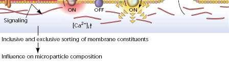 In mammalians, PS is mainly located in the intracellular side. PS plays a key role in MP release and has at least two main functions.