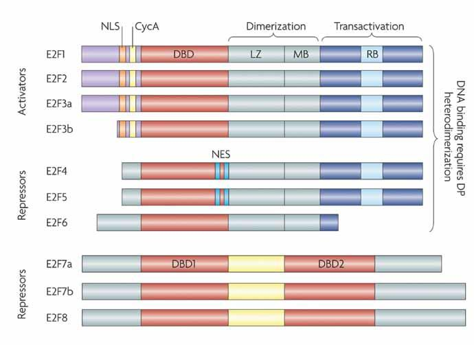 FRONTIERS WINTER 2011 FEATURE The mammalian E2F family of transcription factors. The members occupy eight chromosomal locations that encode nine distinct proteins.