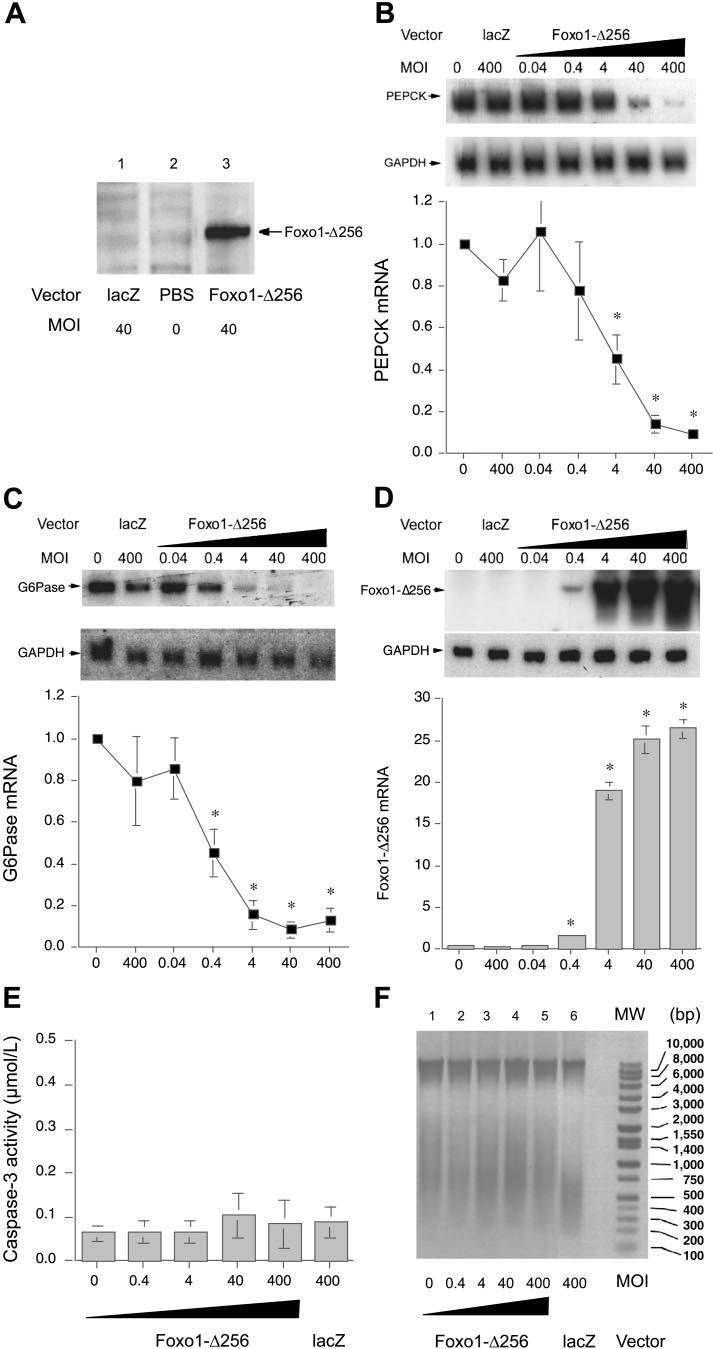 E721 Fig. 1. Effects of production of the mutant of forkhead transcription factor Foxo1 (devoid of its carboxyl domain, Foxo1-256), on gluconeogenic gene expression in H4IIE cells.