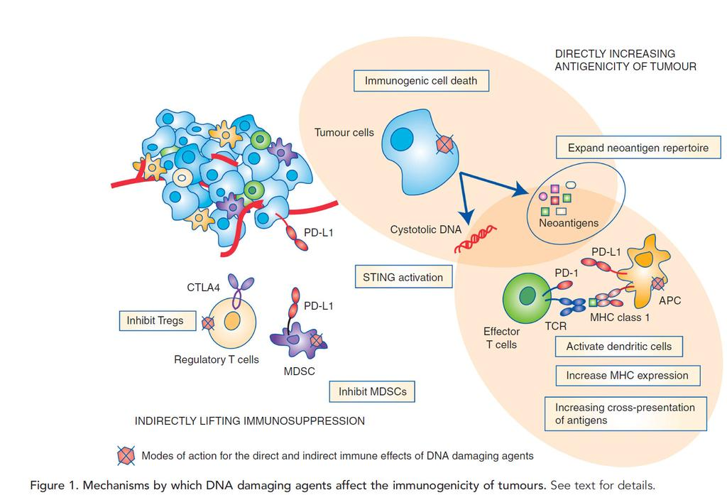 Presence of activated anti-tumor lymphocytes in the