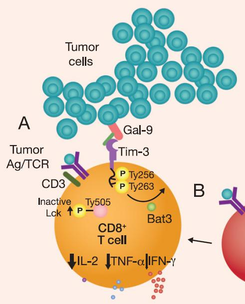 TIM-3 is a Key Immune Checkpoint and a Next Generation Cancer Immunotherapy Target TIM-3